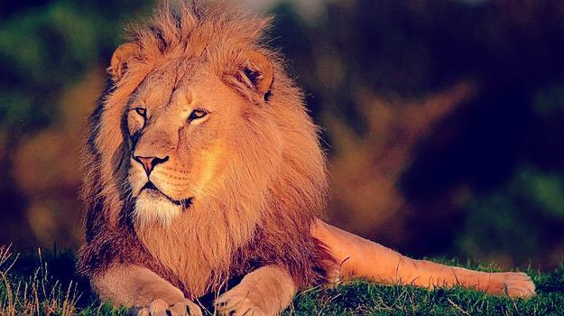 rever de lion