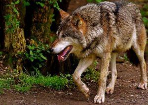 rever de loup