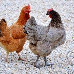 rever de poulet