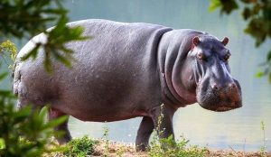 Rêver d'hippopotame
