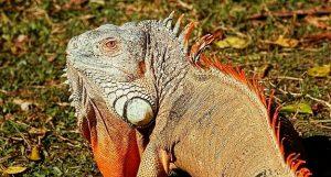 Rêver d'iguane