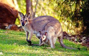 Rêver de kangourou