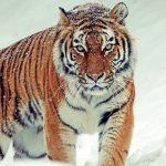 rever de tigre signification