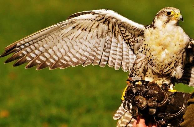 """On dit qu'un faucon apporte la liberté, l'information et la connaissance des autres. Cet oiseau peut symboliser la victoire par rapport à une décision qui a déjà été prise. L'oiseau vibrant peut également signifier la force. Rêver d'une personne tenant un faucon indique qu'il y a une grande idée dans votre inconscient. La découverte de ces idées sera porteuse de richesses pour votre avenir. Dans l'Égypte ancienne, le dieu-faucon était une représentation du soleil et symbolisait la renaissance quotidienne des étoiles. Dans la tradition occidentale, cet oiseau de proie est réputé pour son regard acéré, et il est bon de savoir que le faucon est très apprécié des chasseurs. Dans un rêve, le faucon - l'oiseau solaire - pourrait souligner le désir d'être supérieur, votre ambition incommensurable et le plaisir de réussir aux dépens de tous les autres. <h3>Dans votre rêve, vous pouvez avoir</h3> <ul> <li> Tenir sur un faucon.</li> </ul> <ul> <li style=""""list-style-type : aucun ;""""> <ul> <li>Voir un faucon volant.</li> </ul> </li> </ul> <ul> <li style=""""list-style-type : aucun ;""""> <ul> <li>Avoir vu quelqu'un d'autre tenir un faucon.</li> </ul> </li> </ul> <ul> <li style=""""list-style-type : aucun ;""""> <ul> <li>Voir un faucon voler vers le bas.</li> </ul> </li> </ul> <ul> <li style=""""list-style-type : aucun ;""""> <ul> <li> A tué un faucon.</li> </ul> </li> </ul> <ul> <li style=""""list-style-type : aucun ;""""> <ul> <li>Répondre à un faucon qui tombe.</li> </ul> </li> </ul> <ul> <li style=""""list-style-type : aucun ;""""> <ul> <li>Avoir rencontré un faucon utilisé pour la chasse.</li> </ul> </li> </ul> <ul> <li style=""""list-style-type : aucun ;""""> <ul> <li>Rencontre d'un faucon poursuivant sa proie.</li> </ul> </li> </ul> <ul> <li style=""""list-style-type : aucun ;""""> <ul> <li>Faucon contrebalancé volant de droite à gauche.</li> </ul> </li> </ul> <ul> <li style=""""list-style-type : aucun ;""""> <ul> <li>Voir un faucon voler de gauche à droite.</li> </ul> </li> </ul> <ul> <li style=""""list-style-type : aucun"""