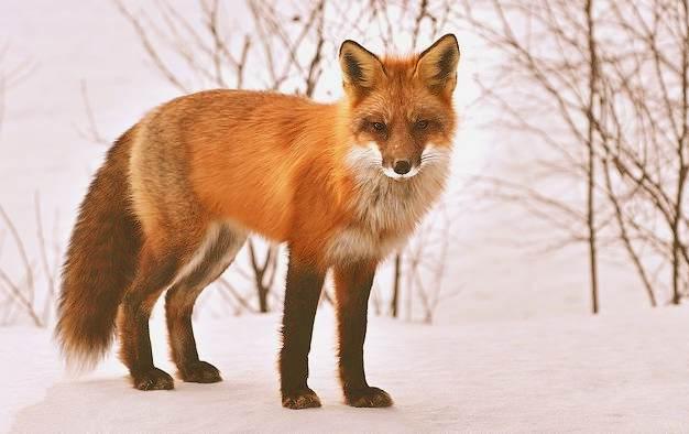 rever de renard