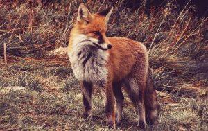signification de reve de renard